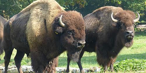 Karlstern Bisons